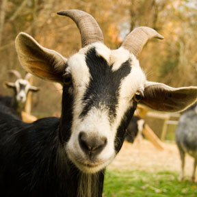 A photo of a goat
