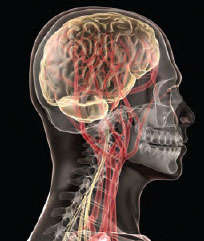 Illustration of head showing brain and skeleton through transparent skin