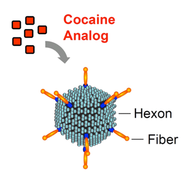 A schematic drawing shows a cocaine analogue molecule attaching to an adenovirus. The adenovirus consists of a hexon and fibers.