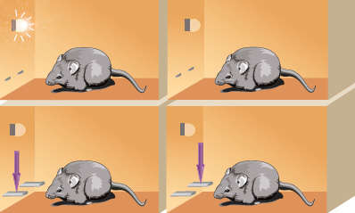 illustration of rat lever pressing during signal task and non-signal task - see caption