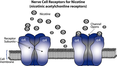 Image result for nicotine addiction brain