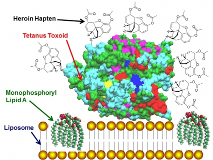 Diagram of the heroin vaccine portion of the heroin-HIV vaccine.  The heroin-haptens are attached to tetanus toxoid mixed with liposomes containing phosphoryl lipid A, which is potent adjuvant formulation used to induce high titer antibodie