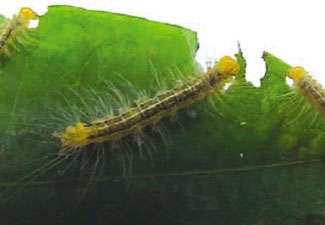 photo of caterpiller eating a coca leaf