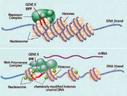 Illustration of nucleosomes - see caption