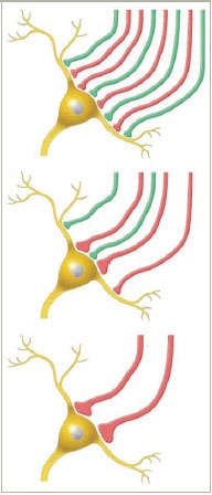 illustration of neuronal connections in synapses - see caption
