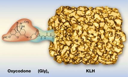 This illustration shows what the oxycodone vaccine looks like as it links oxycodone to tetraglycine [(Gly)4] and linking that to the protein keyhole limpet hemocyanin (KLH).