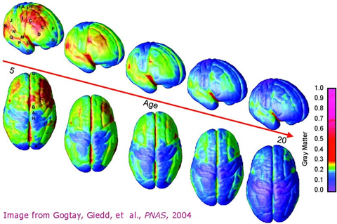 Illustration of brain development from youth